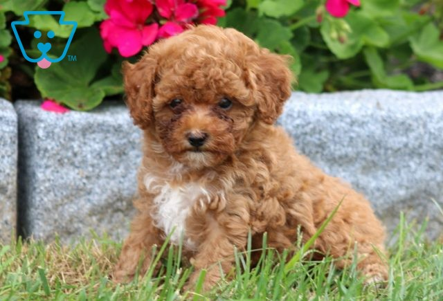 Baby Toy Poodle3