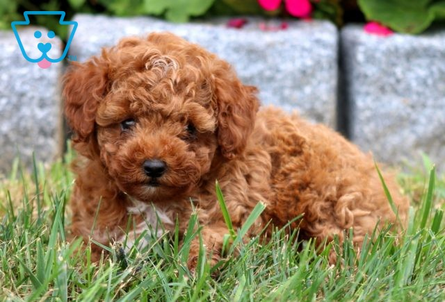Barney Toy Poodle2