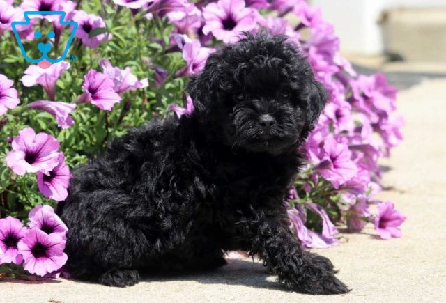 Bell Shihpoo