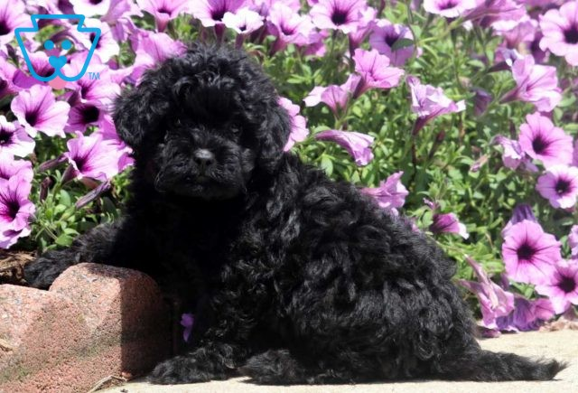 Bell Shihpoo2