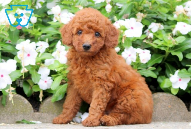 Benson Toy Goldendoodle 1-001