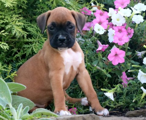 a brown boxer puppy for sale named bessie