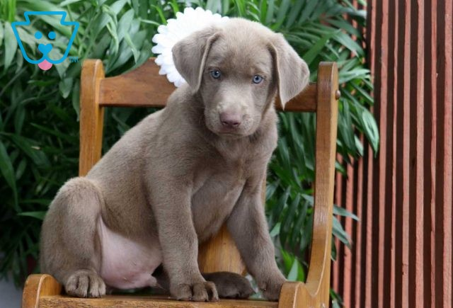 Buster Silver Lab