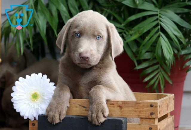 Buster Silver Lab2