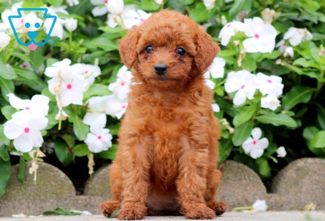 Buttons Toy Goldendoodle 1-001