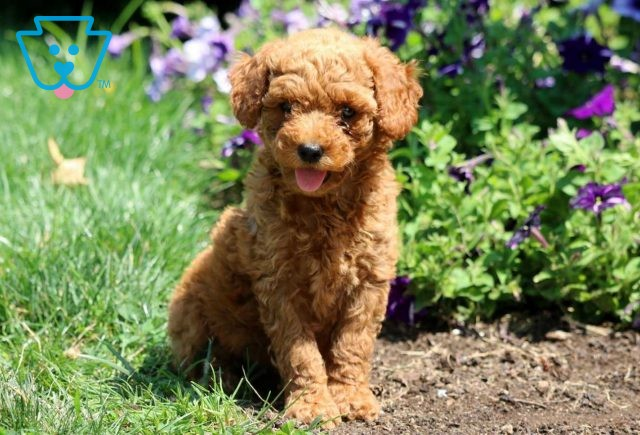 Carabell Mini Goldendoodle