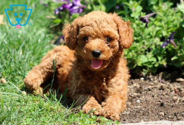 Carabell Mini Goldendoodle2