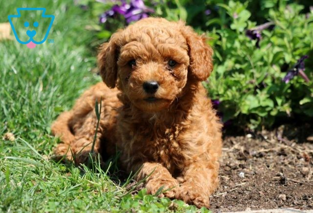 Carabell Mini Goldendoodle3