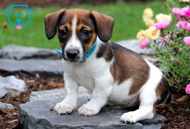 Clifford Jack Russell