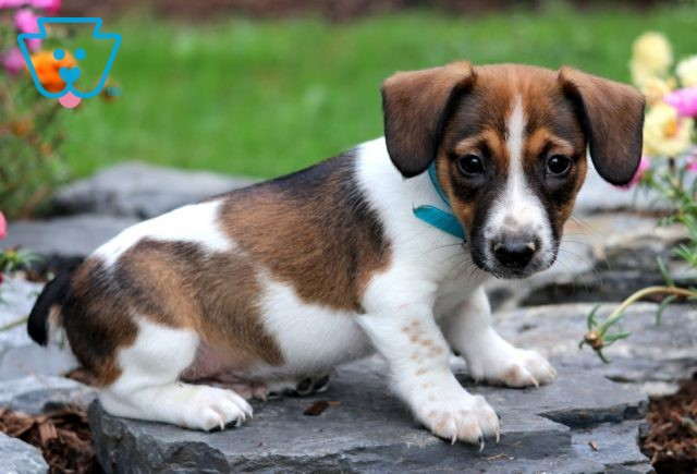 Clifford Jack Russell2