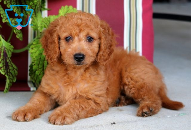 Dolly Mini Goldendoodle