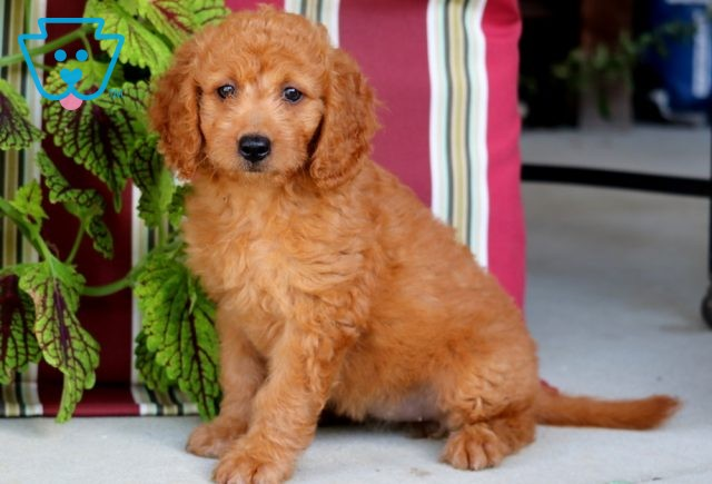 Dolly Mini Goldendoodle2