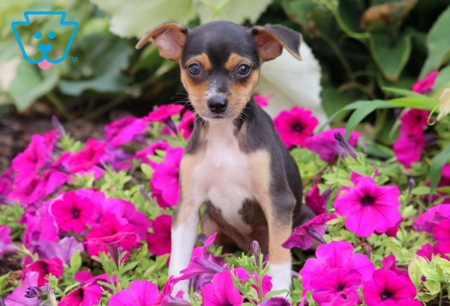 Herby Toy Fox Terrier 1-001