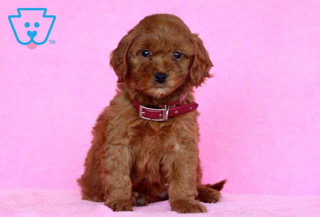 Illy Mini Goldendoodle