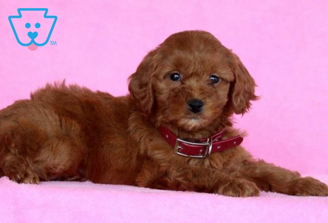 Illy Mini Goldendoodle2