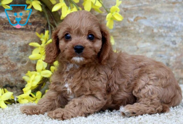 Lilly Poodle Mix