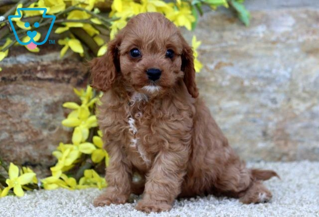 Lilly Poodle Mix2