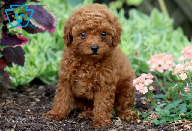 Macy Toy Poodle 1-001