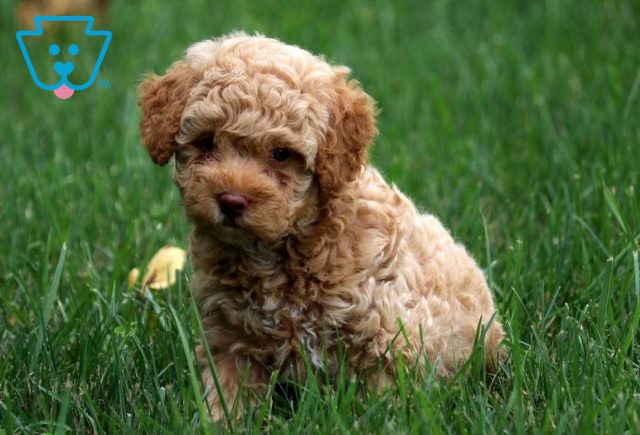Maggie Toy Goldendoodle