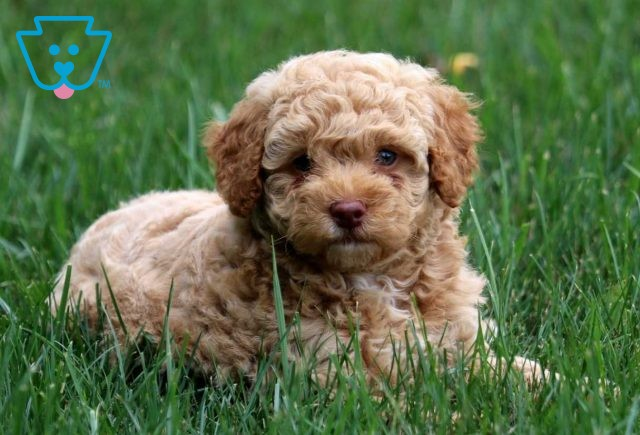 Maggie Toy Goldendoodle2