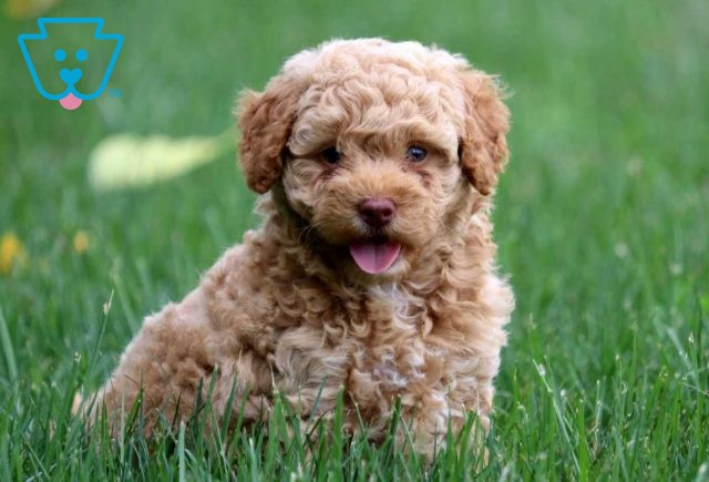 Maggie Toy Goldendoodle3