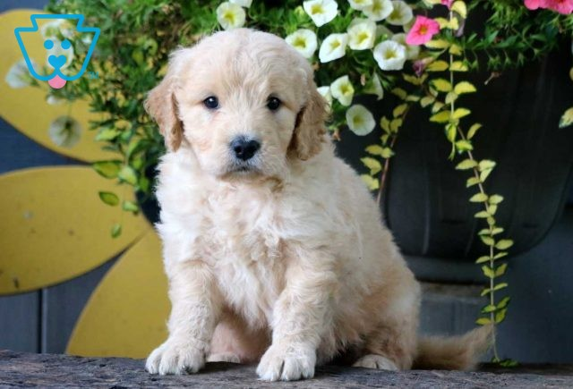 Mighty Mini Goldendoodle