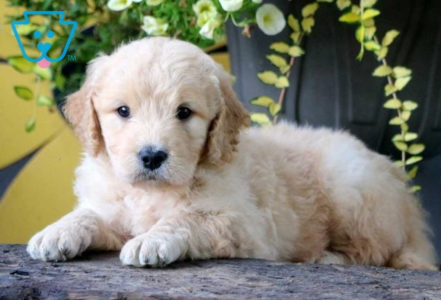 Mighty Mini Goldendoodle2