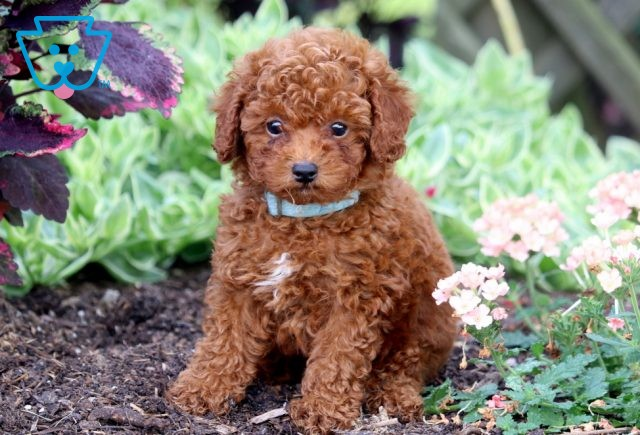 Mighty Toy Poodle 1-001
