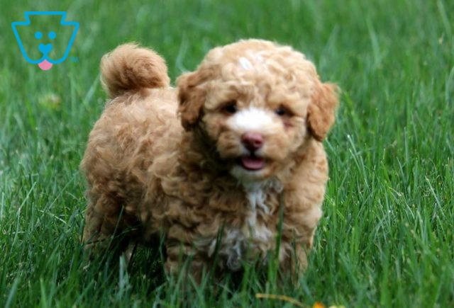 Miles Toy Goldendoodle