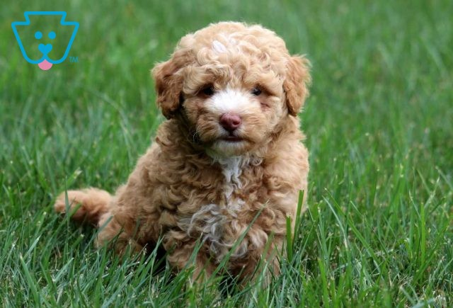 Miles Toy Goldendoodle2
