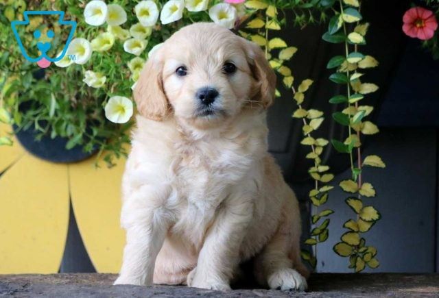 Milly Mini Goldendoodle