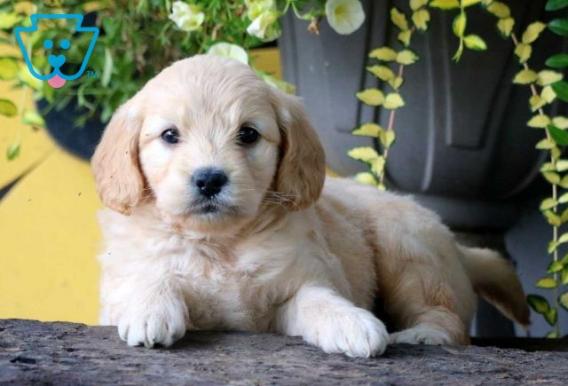 Milly Mini Goldendoodle2