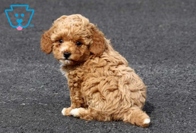 Peter Toy Goldendoodle