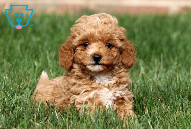 Peter Toy Goldendoodle2