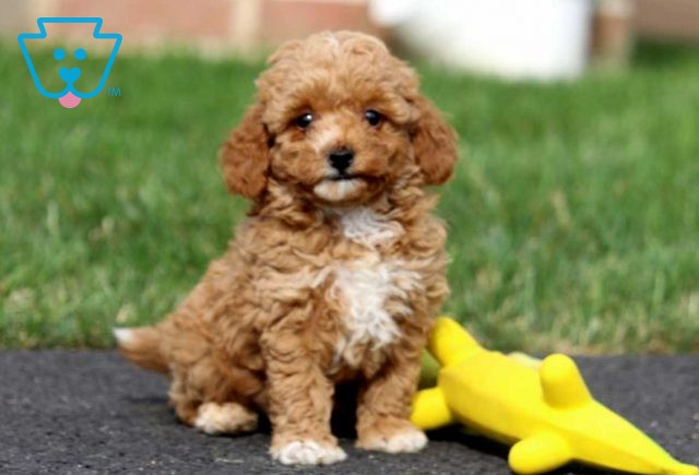 Peter Toy Goldendoodle3