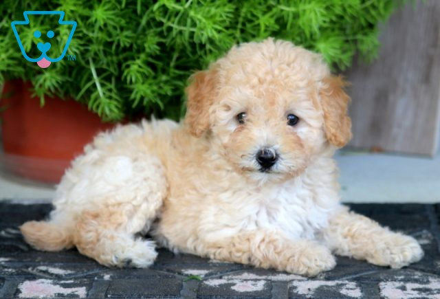Reese Toy Goldendoodle 1-001
