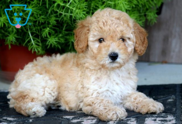 Rudy Toy Goldendoodle 1-001