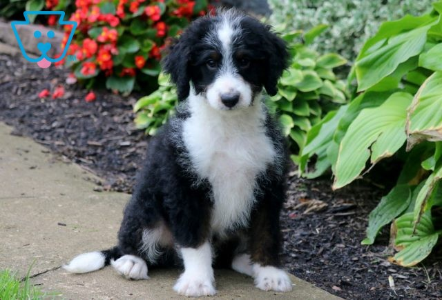 Scully Mini Bernedoodle 1-001