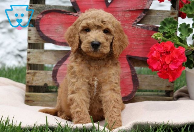 Smarty Goldendoodle