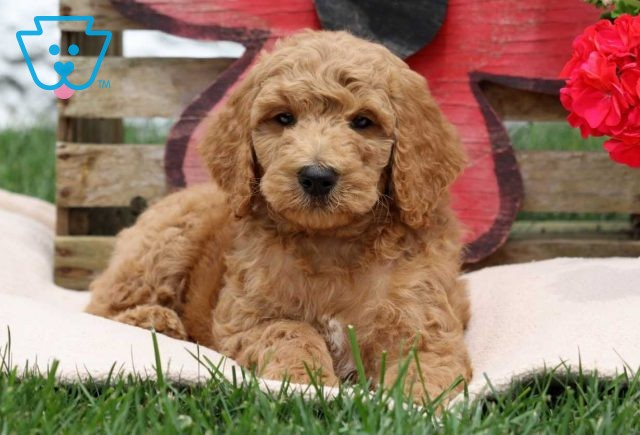 Smarty Goldendoodle2