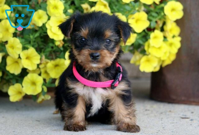 Snickers Yorkie