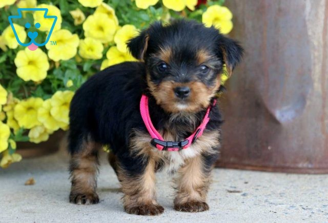 Snickers Yorkie2