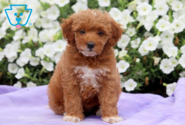 Stormy Mini Goldendoodle 1-001