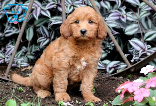Andy Mini Goldendoodle