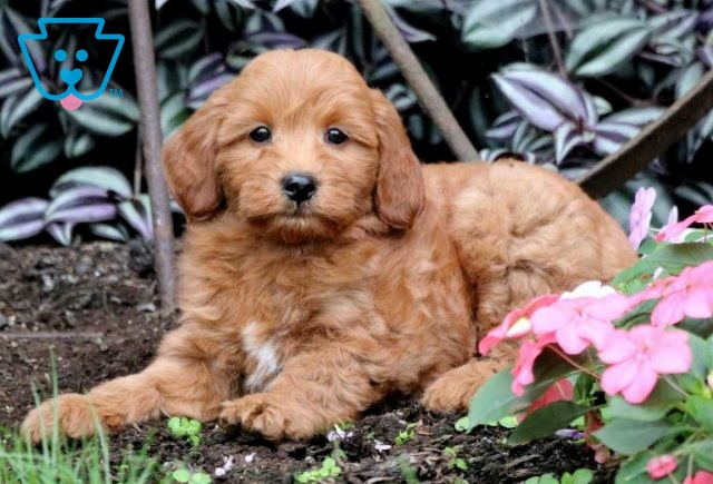 Andy Mini Goldendoodle2