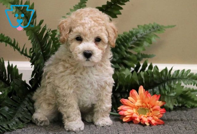 Barney Toy Poodle