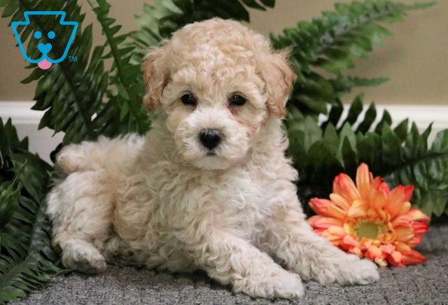 Barney Toy Poodle1
