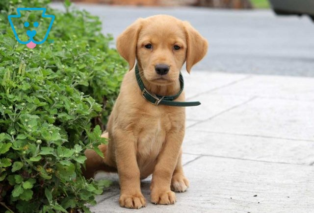 Beauty Red Lab