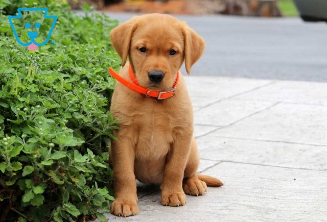 Blessing Red Lab