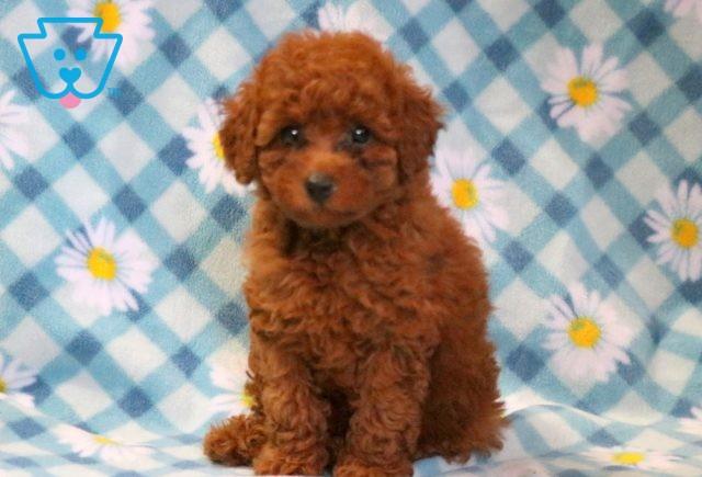 Cami Mini Poodle 1-001